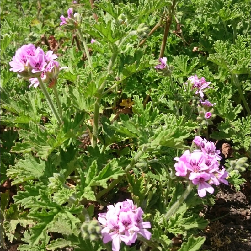 Eau florale hydrolat de Géranium Bourbon bio Corse Domaine Amuredda