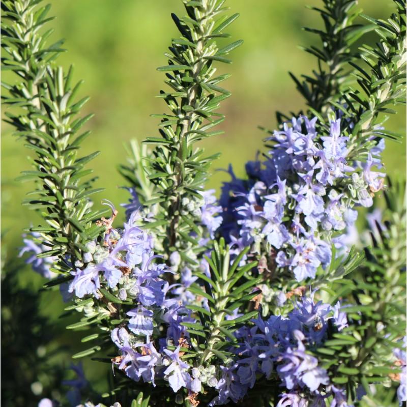 eau florale bio de Romarin à verbénone Corse Domaine Amuredda