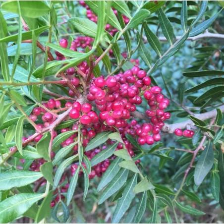 Lentisque pistachier bio - Huile essentielle